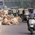 Holy Vagrants: How Homeless Cows Became a Problem in India